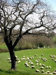 le pecore altopiano dell'alfina